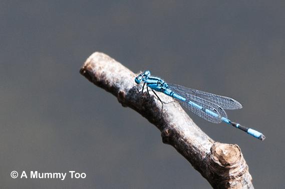Tiny dragonfly