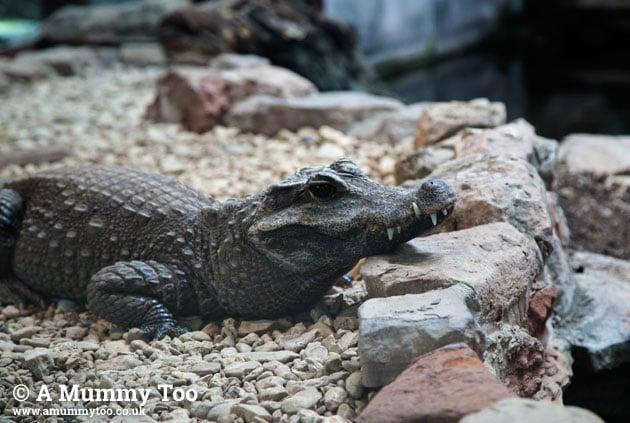 Bristol-Zoo-croc