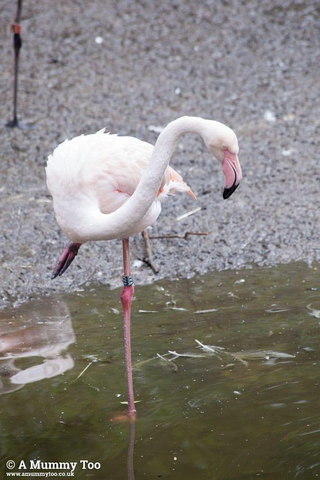 Bristol-Zoo-flamingo