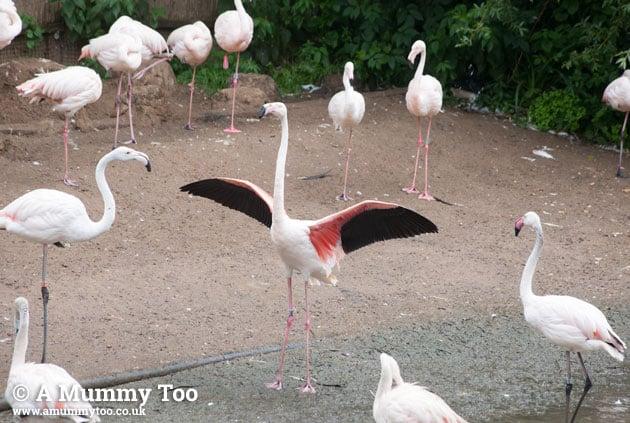 Bristol-Zoo-flamingoes