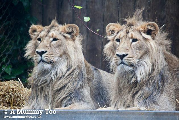 Bristol-Zoo-lionssharp
