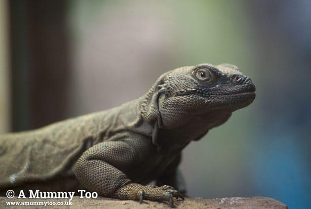 Bristol-Zoo-lizard