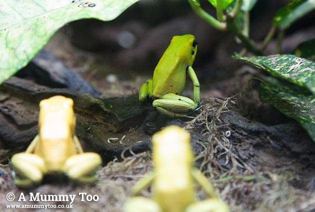 Bristol-aquarium-frogs