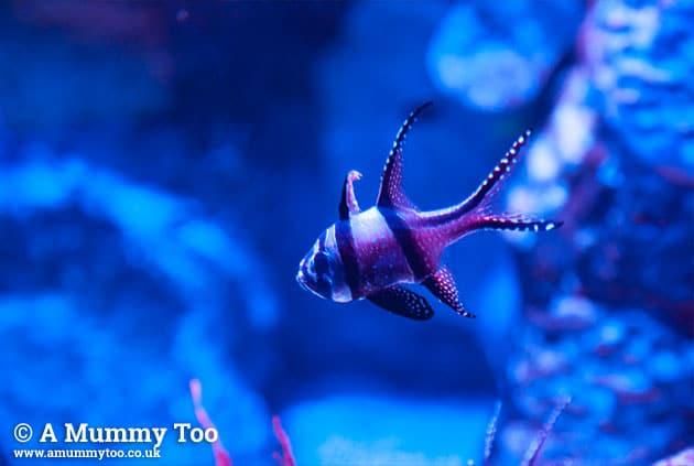 Sealife-redbluefish