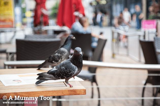 nandos-pigeon