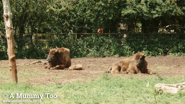 zsl-bison