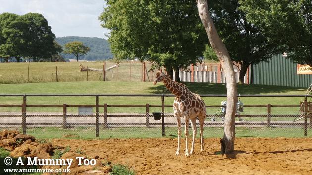 zsl-giraffe