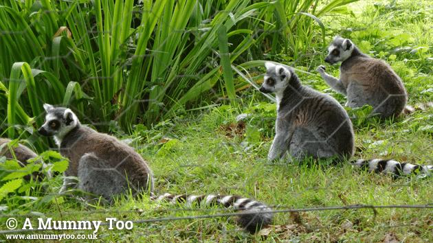zsl-lemurs