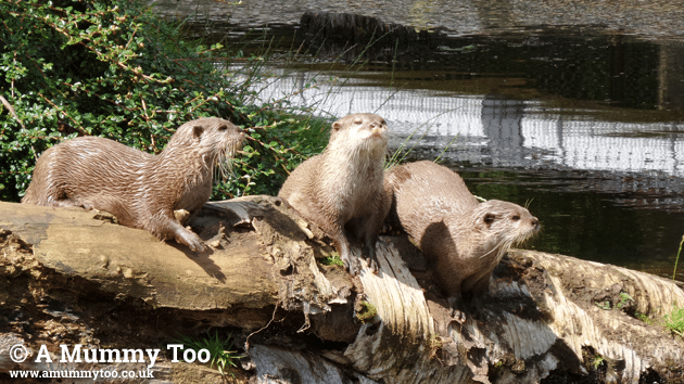 zsl-otters-in-harsh-light