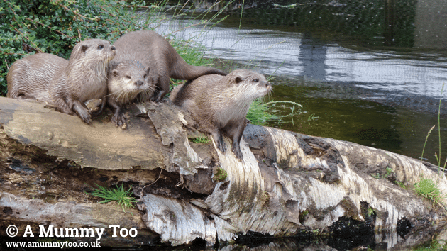 zsl-otters-when-overcast