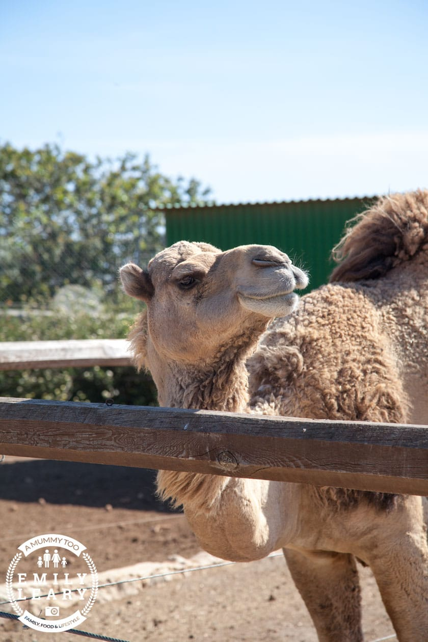 paphos-zoo-camel