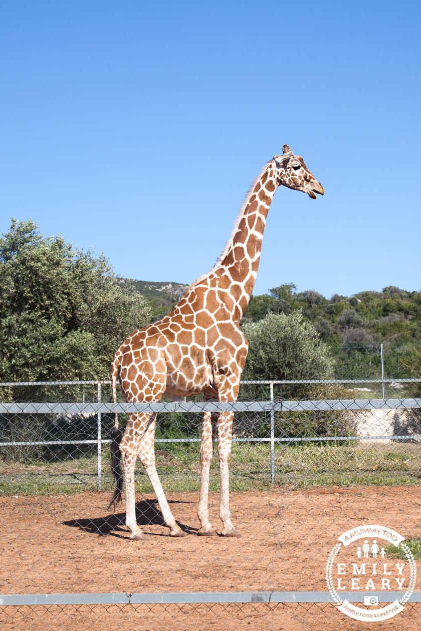 paphos-zoo-giraffe