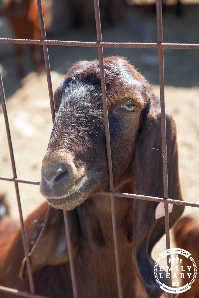 paphos-zoo-goat