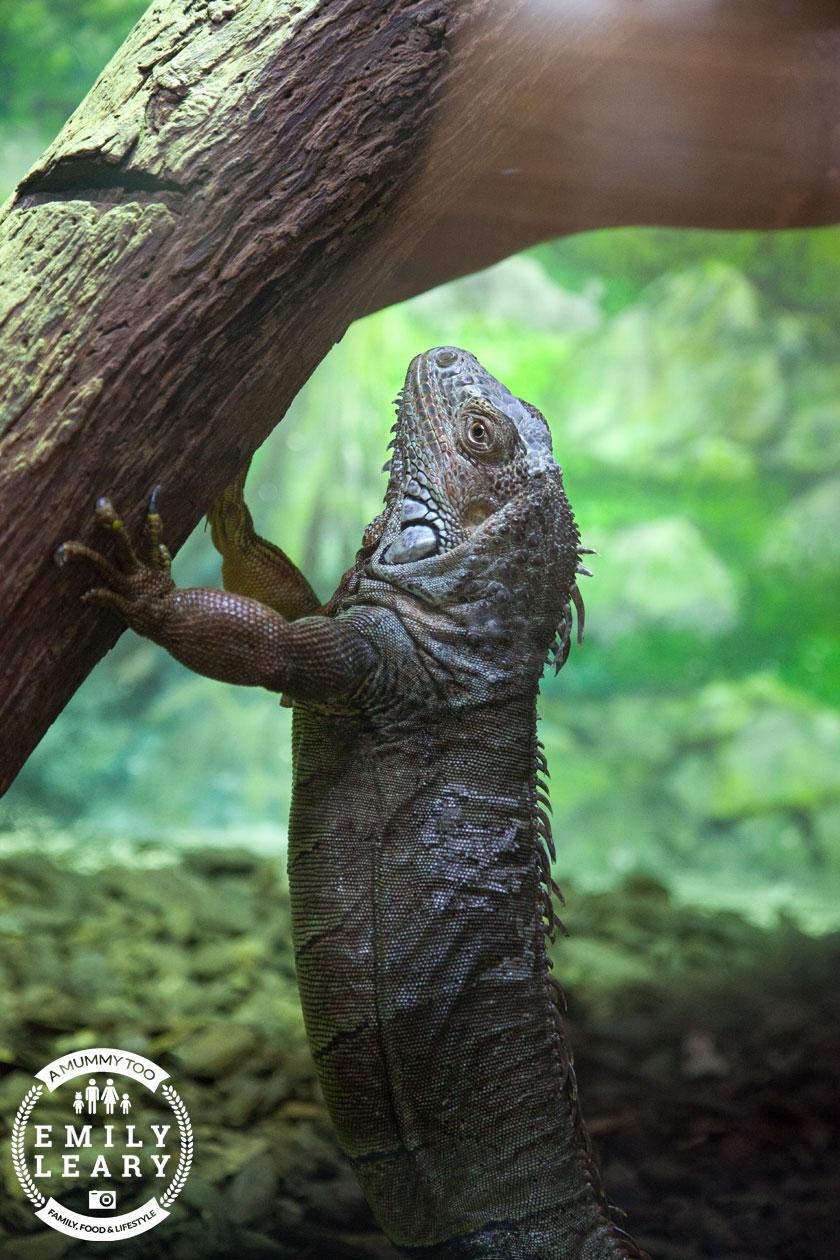 paphos-zoo-iguana