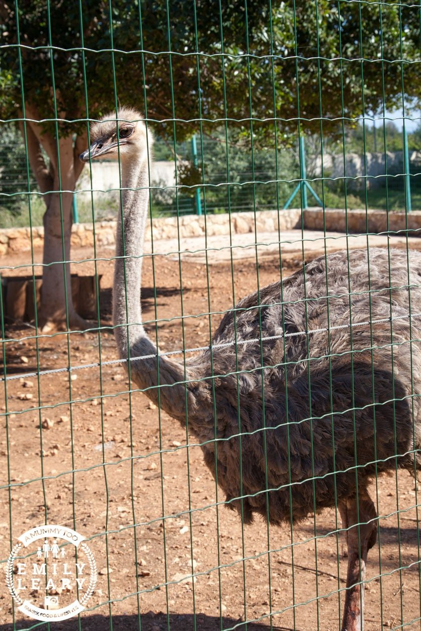 paphos-zoo-ostrich