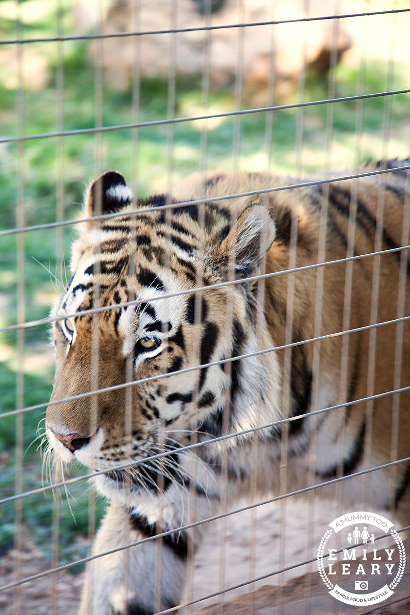 paphos-zoo-tiger