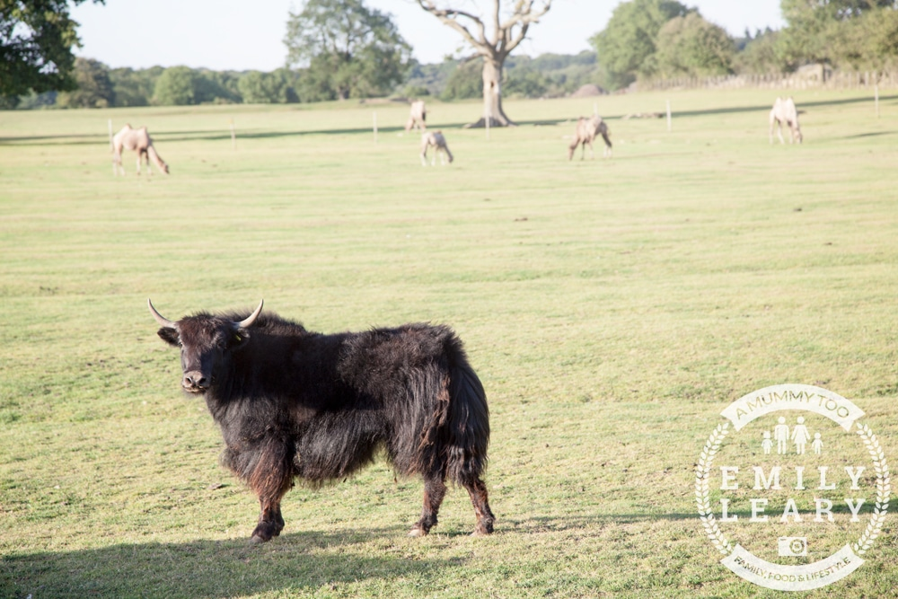 ZSL-Whipsnade-Minions-Frubes-Bison