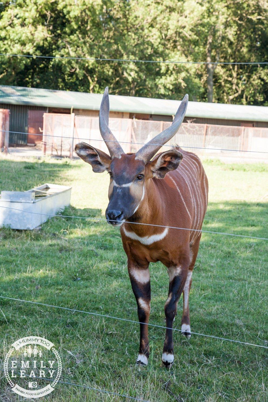 ZSL-Whipsnade-Minions-Frubes-Bongo-Antelope
