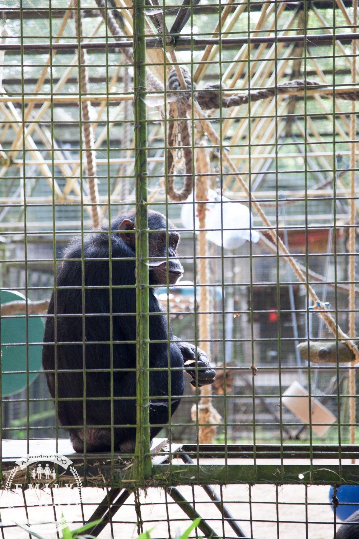 ZSL-Whipsnade-Minions-Frubes-Chimp