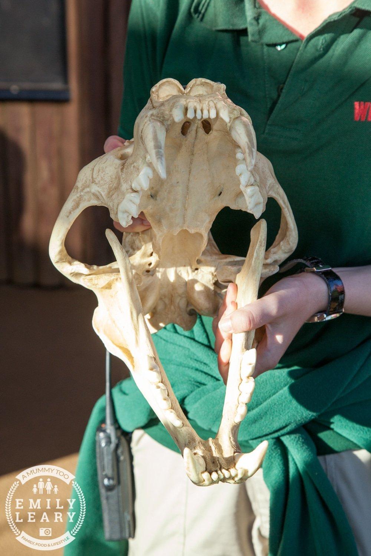 ZSL-Whipsnade-Minions-Frubes-Lion-Skull-Model