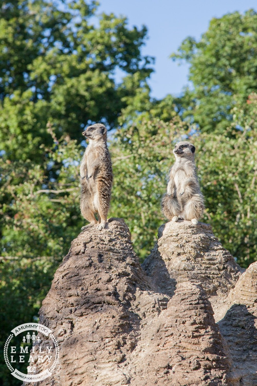 ZSL-Whipsnade-Minions-Frubes-Meercats