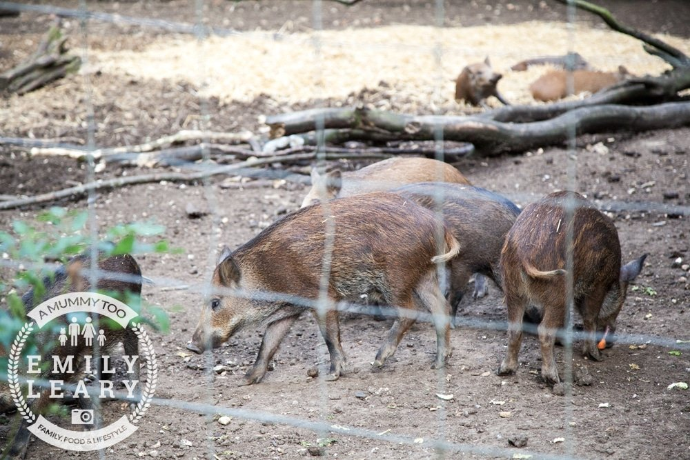 ZSL-Whipsnade-Minions-Frubes-Wild-Boar