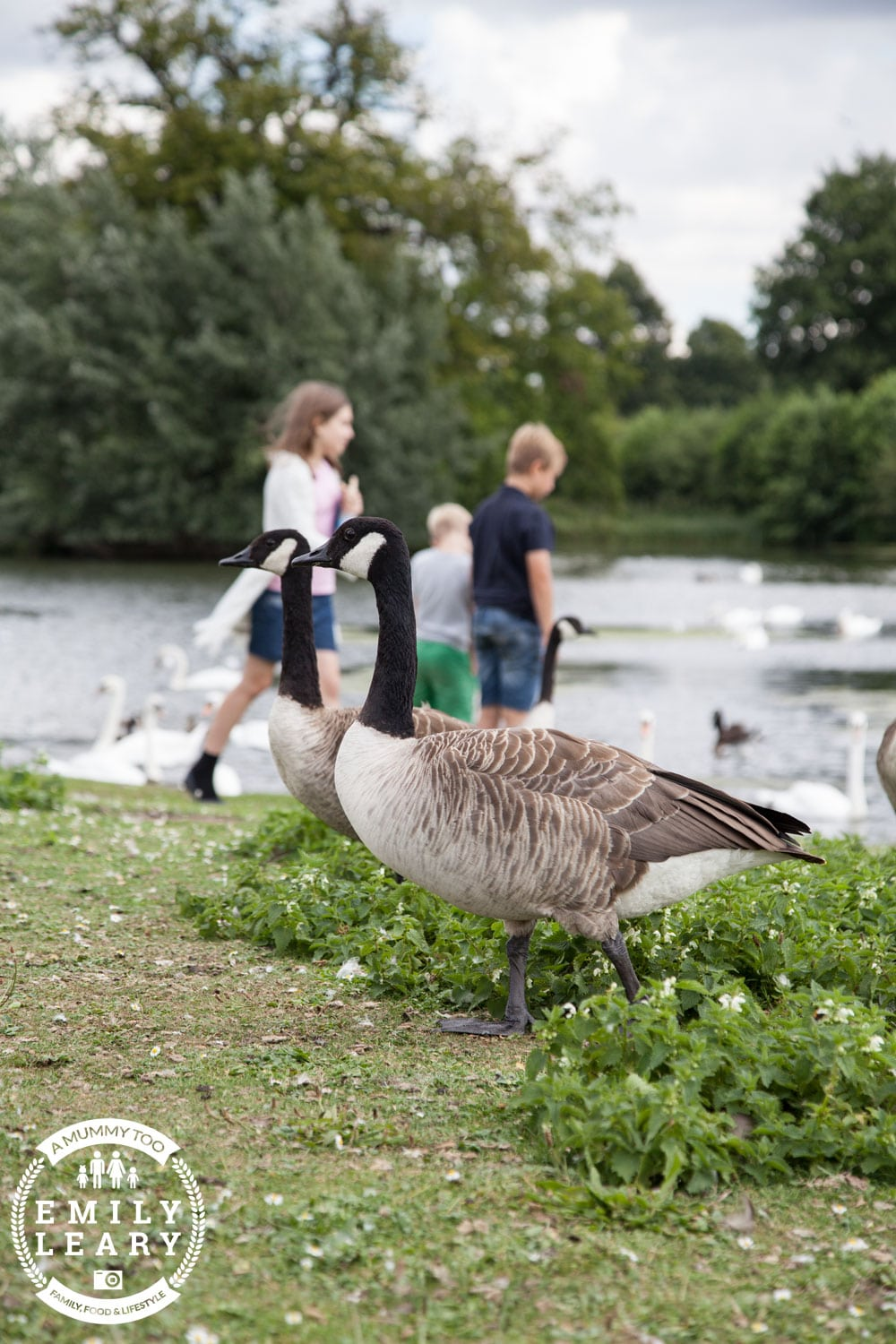 Geese at Clumber Park