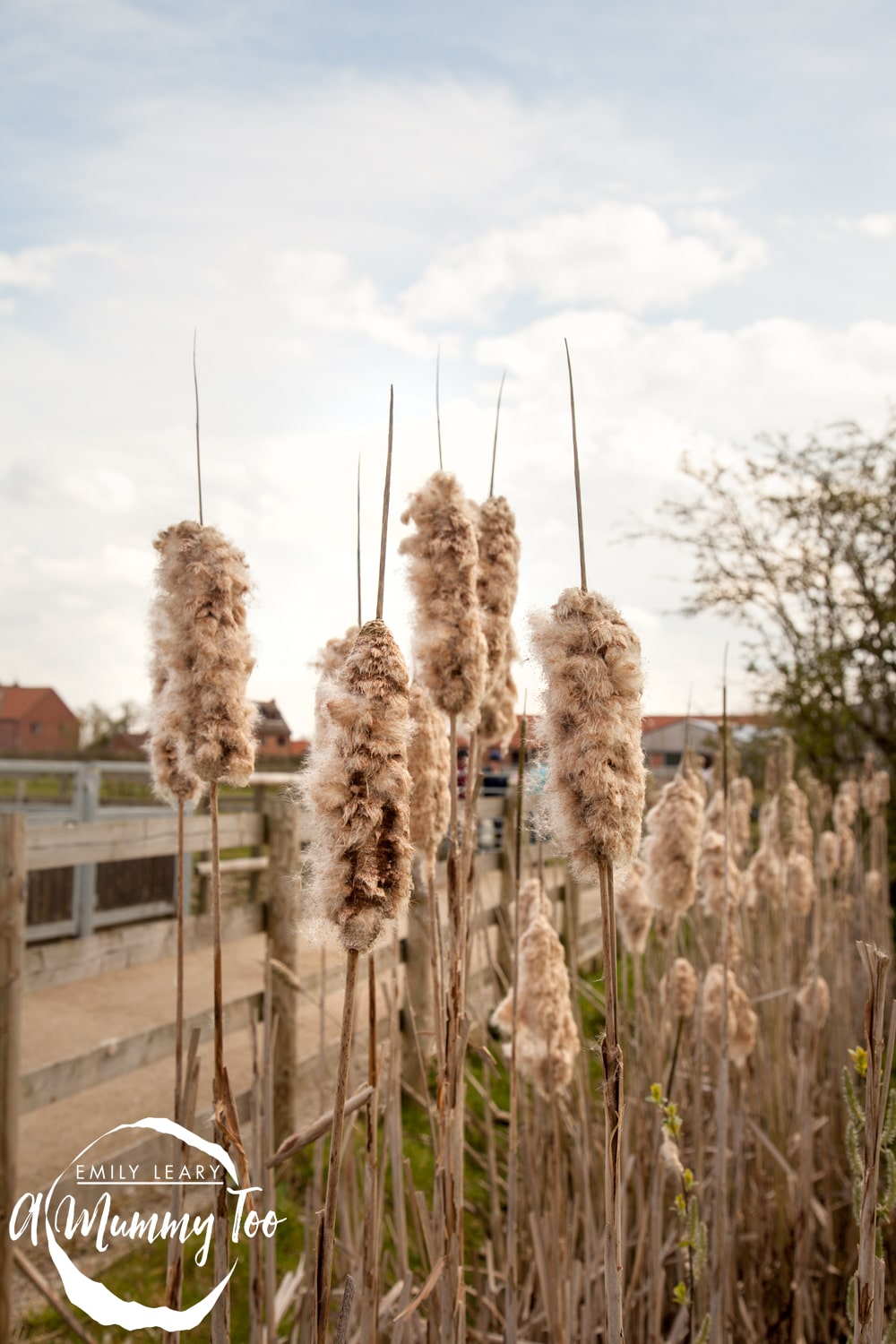 bransby-bullrushes