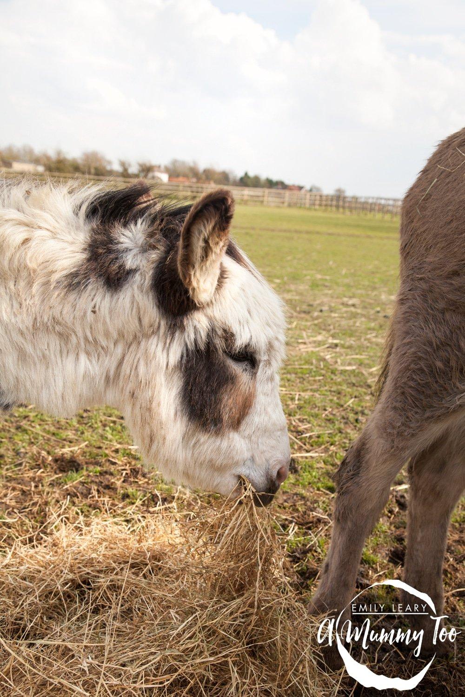 bransby-white-donkey