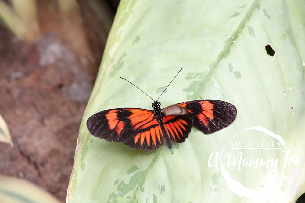 close-up-red-and-black-butterfly-twycross