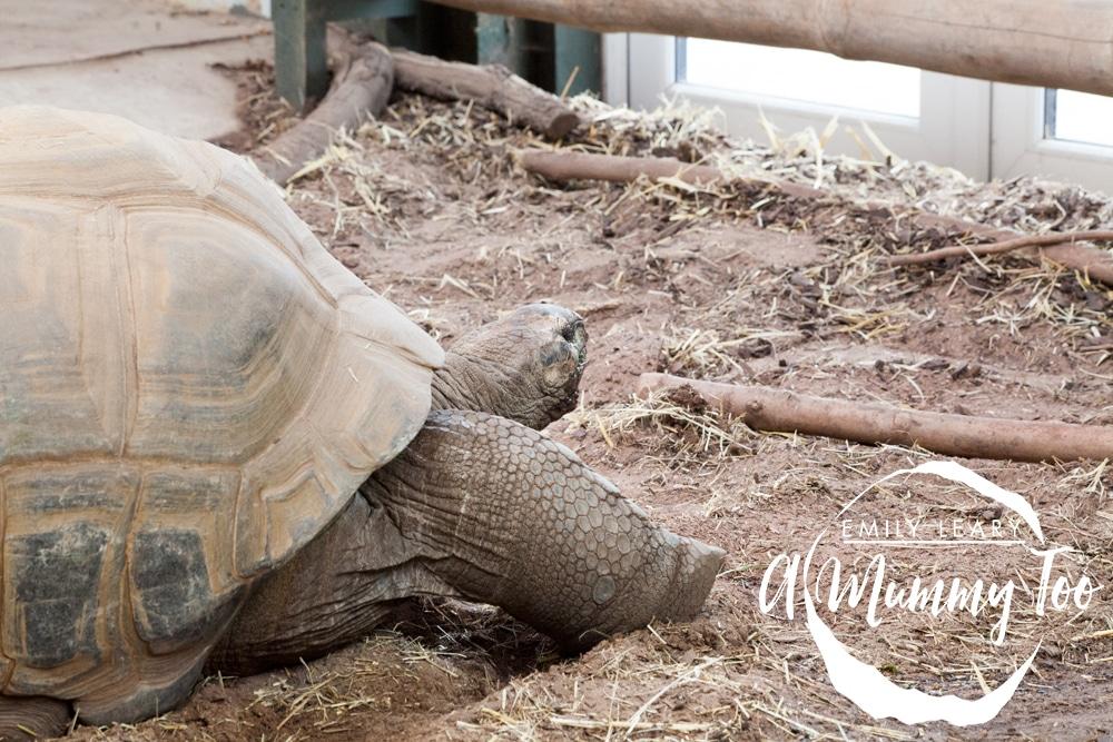 giant-tortoise-side-twycross
