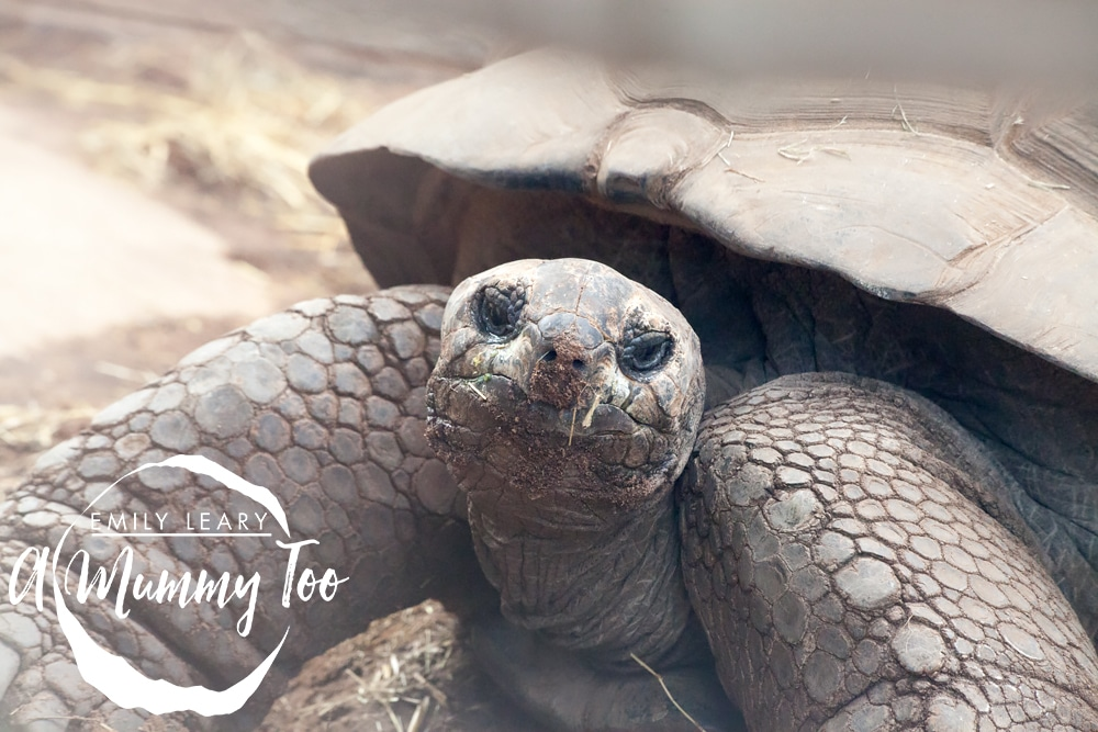 giant-tortoise-twycross