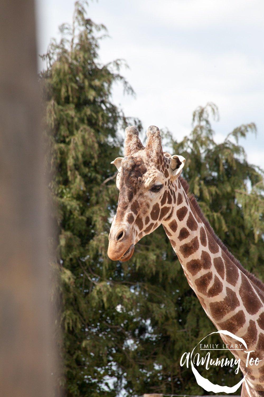 giraffe-twycross-close-up