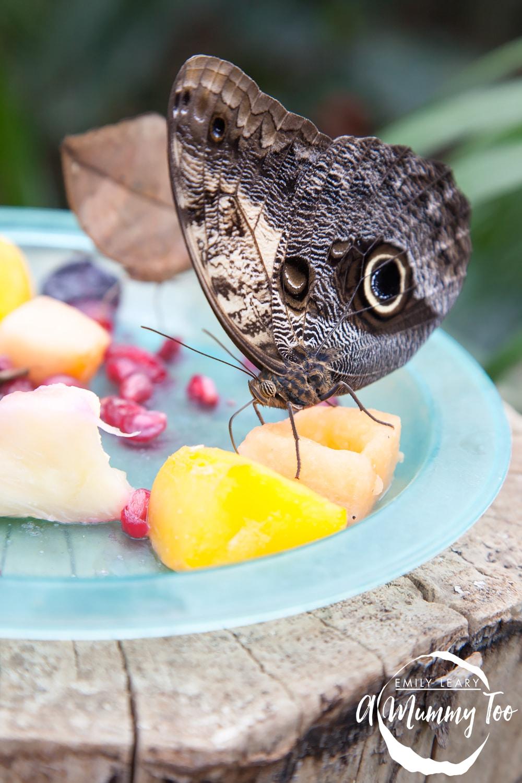 twycross-butterfly