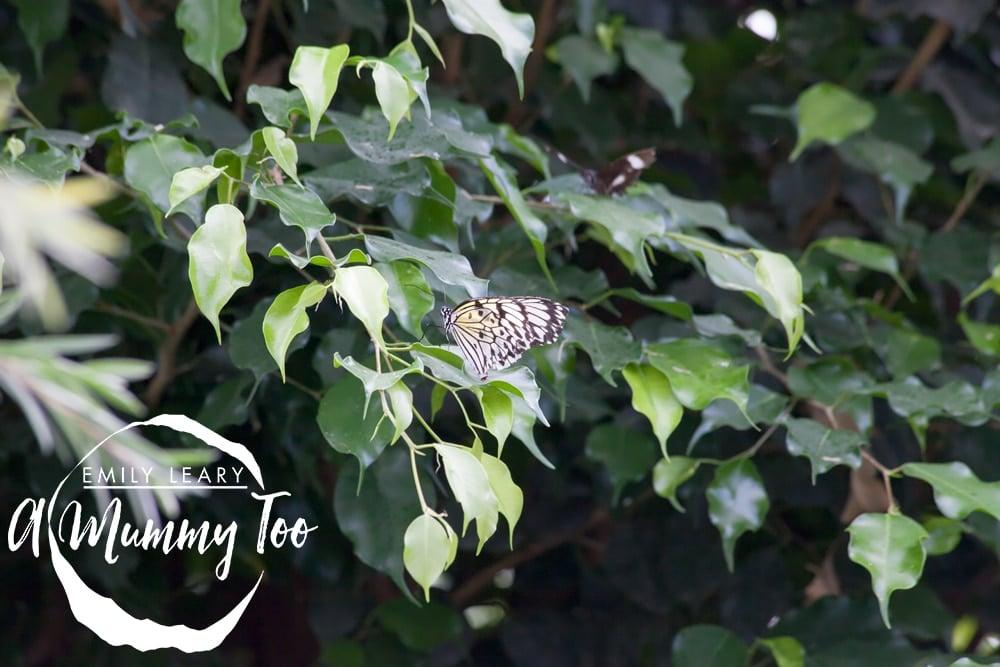 twycross-delicate-butterfly