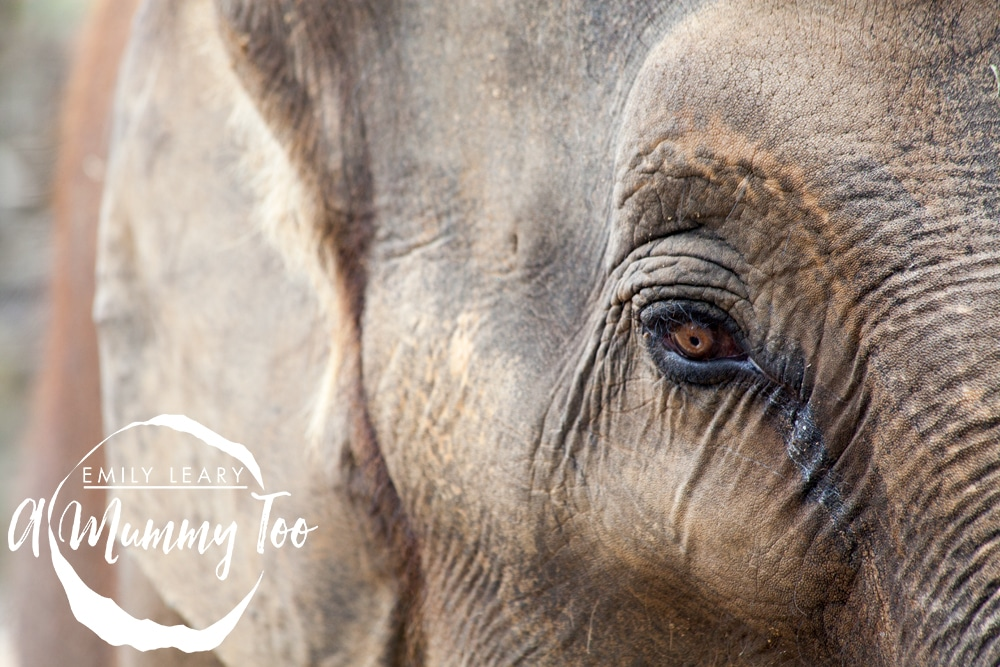 twycross-elephant-eye