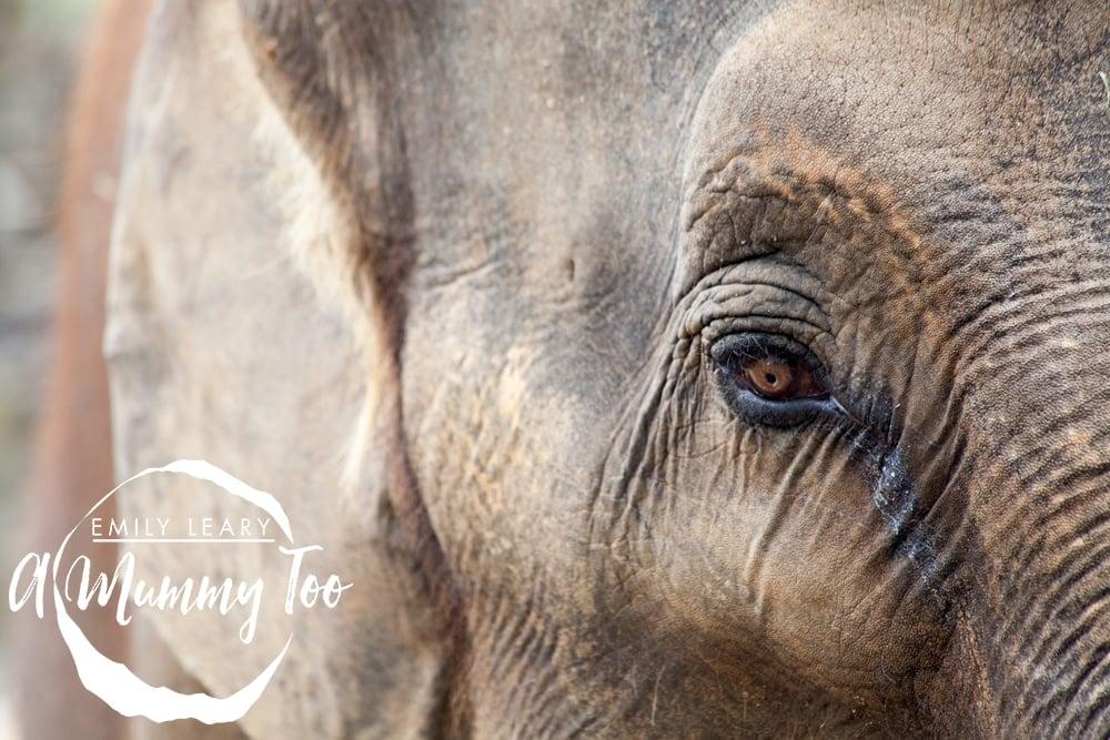 twycross-elephant-eye
