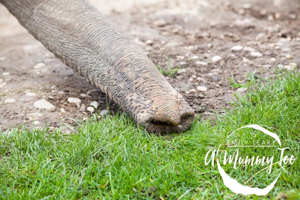 twycross-elephant-trunk