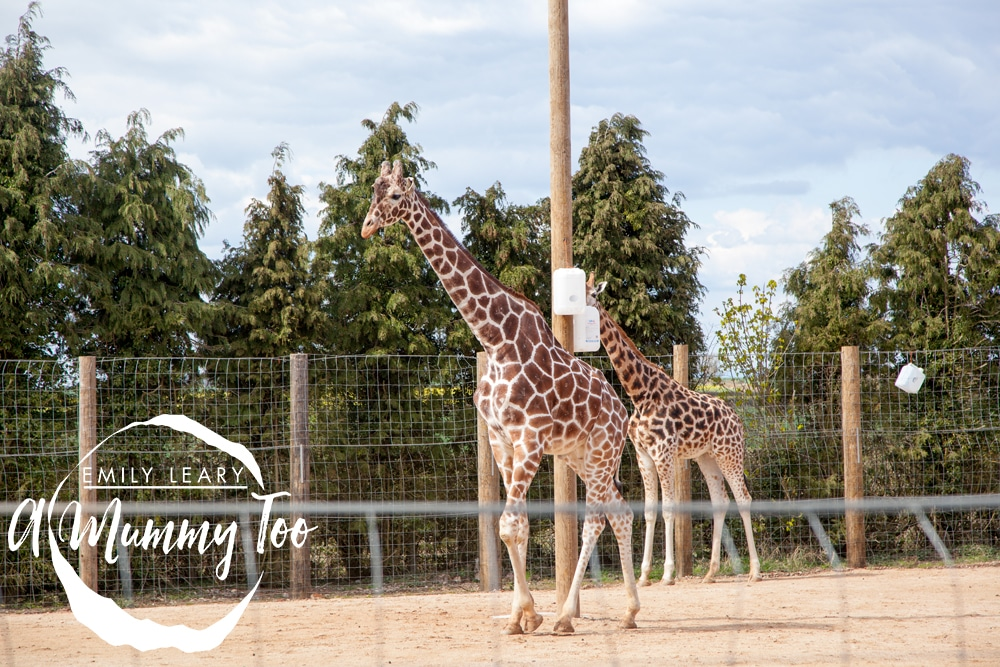 twycross-giraffes