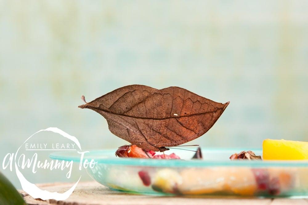 twycross-leaf-butterfly