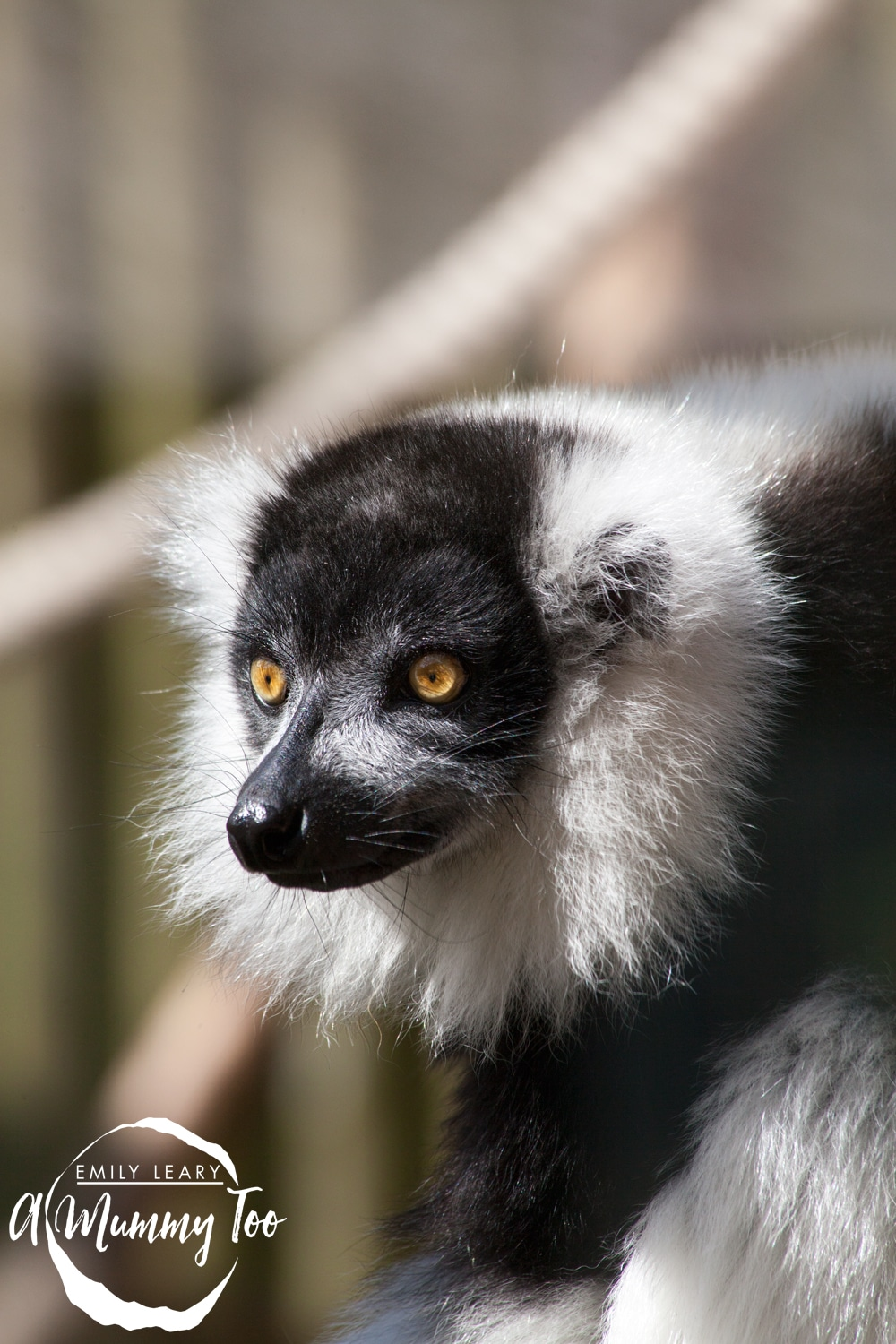 twycross-lemur-close-up
