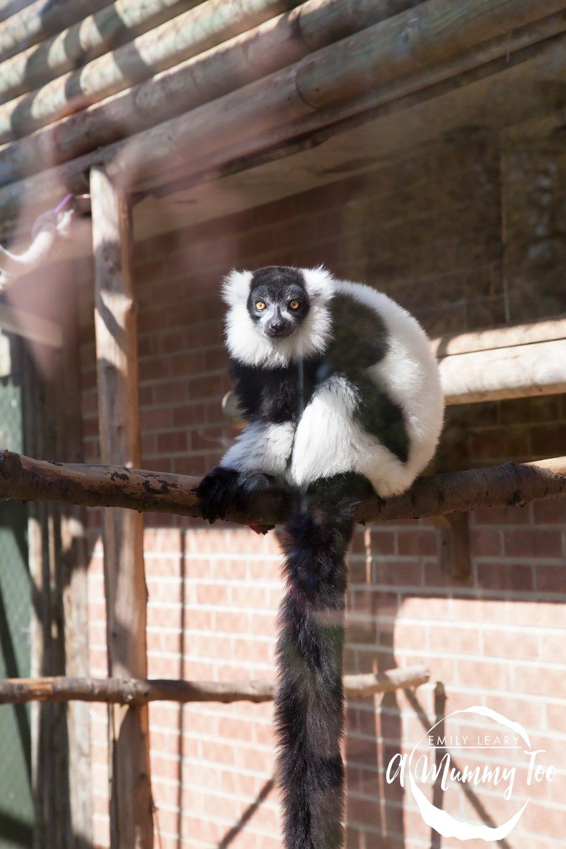 twycross-lemur