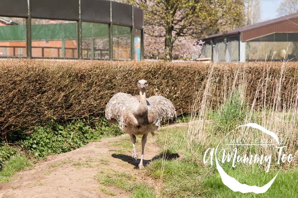 twycross-ostrich