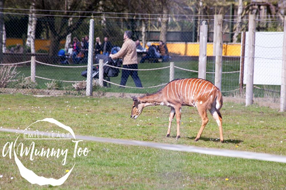 twycross-striped