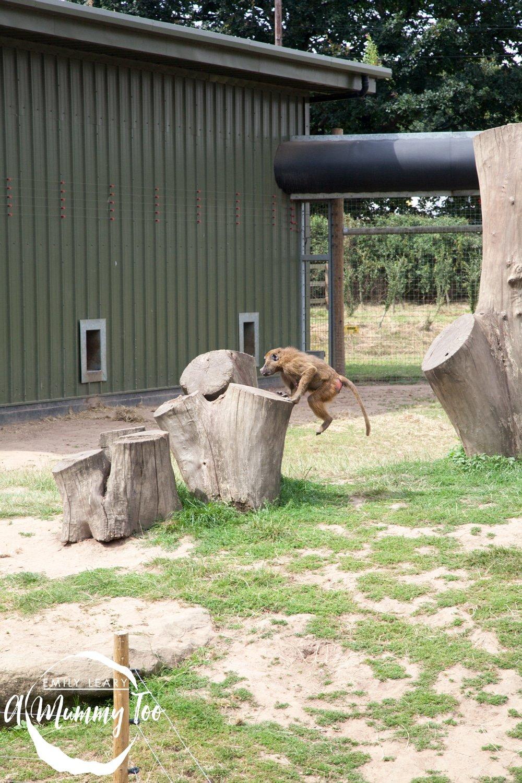 wildlife-park-baboon