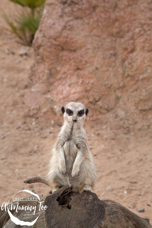 wildlife-park-meercat