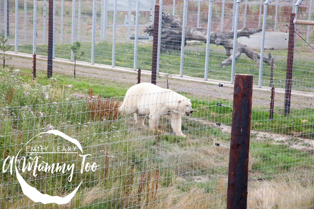 wildlife-park-polar-bear