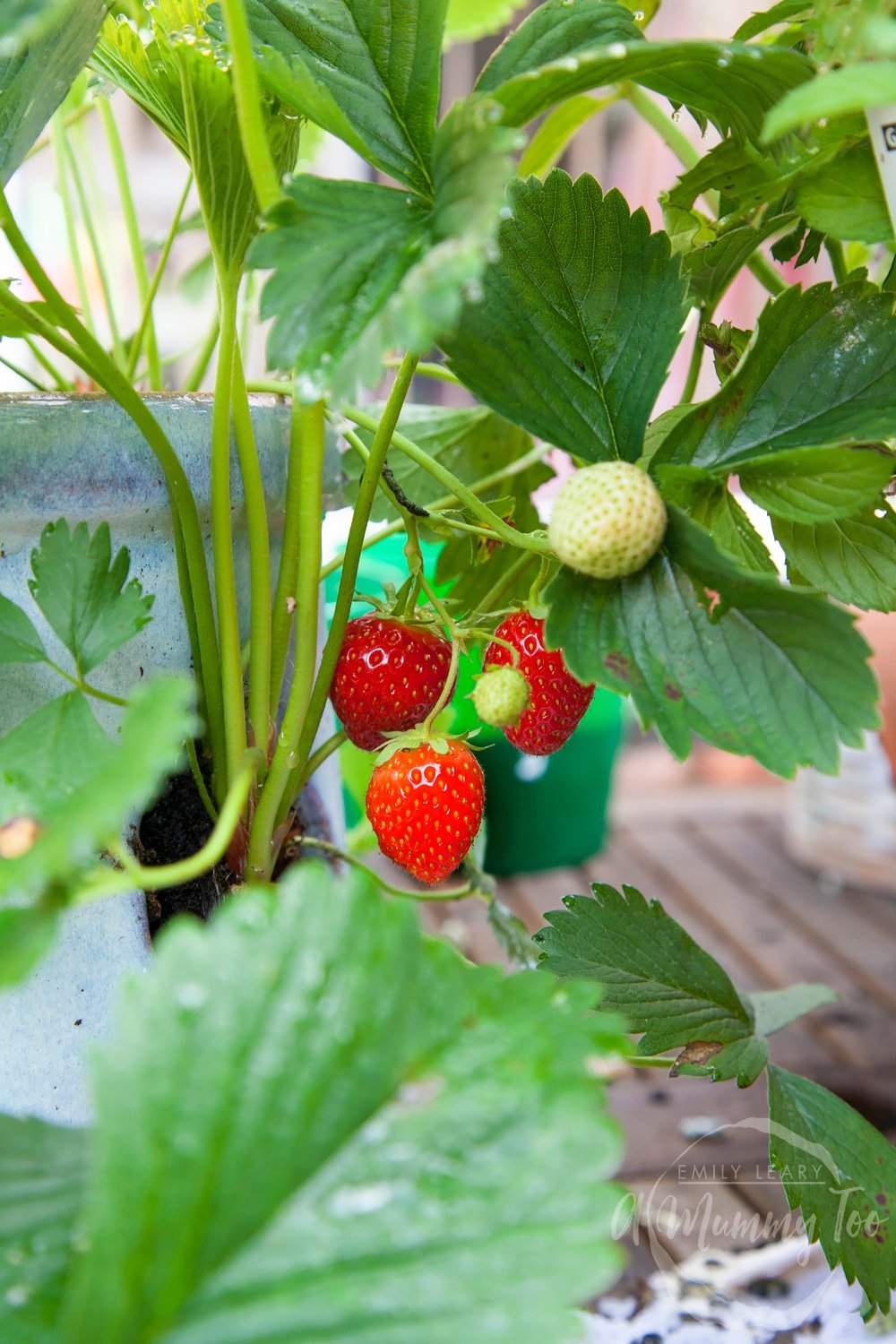 Growing fresh strawberries in our garden