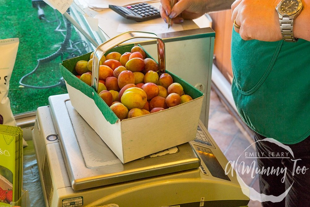 Victoria plums in a basket being weighed