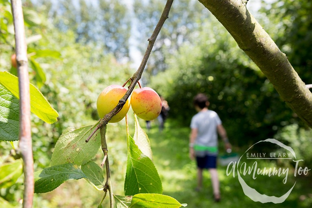 Fruit picking at a 'pick your own' farm with Robinsons